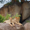 Lion cubs on a kopje in the northern Serengeti