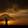 Tarangire is famous for its magnificent and numerous baobabs