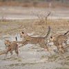 This cheetah's three cubs enjoyed an evening session of play