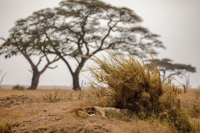 Snoozing near the Acacias