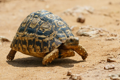Leopard tortoise at full tilt