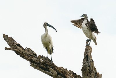 Sacred ibis and female knobbill duck