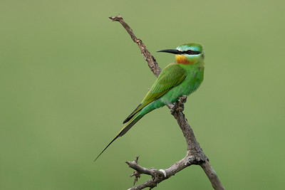 Blue cheeked beeeater