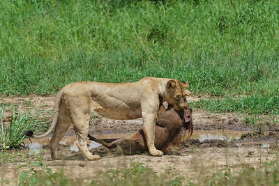 Lioness with warthog