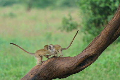 Vervet youngsters