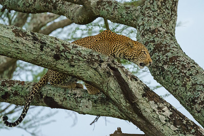 Male leopard calling for a mate