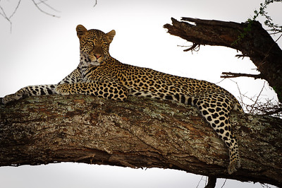 Leopard in a favorite resting place