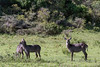 Three female waterbuck (Kobus ellipsipymnus) 1, Arusha National Park, Tanzania