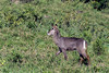 Female waterbuck (Kobus ellipsipymnus) 2, Arusha National Park, Tanzania