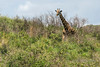 Masai giraffe (Giraffa tippelskirchi) strolling through the bush, Arusha NP, Tanzania