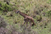 Masai giraffe walking along a hillside, Arusha National Park, Tanzania