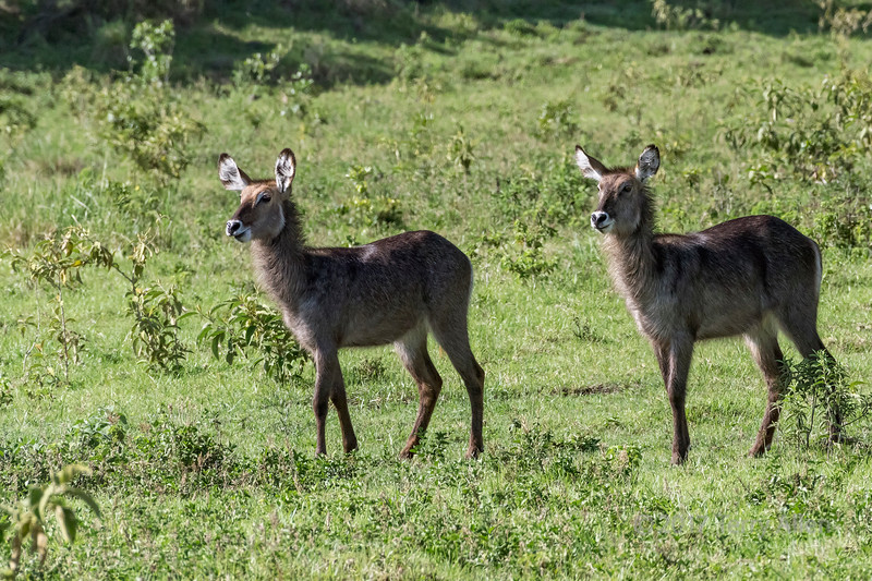Two female waterbuck (Kobus ellipsipymnus) 3, Arusha National Park, Tanzania