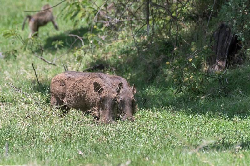 Pair of wart hogs (Phacochoerus africanus) grazing in Arusha NP, Tanzania