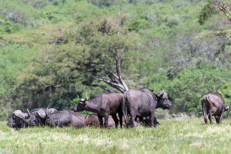 Small herd of Cape buffalo (Syncerus caffer) resting near the Jekukumia River, Arusha NP, Tanzania