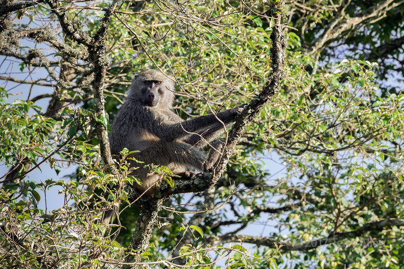 Baboon sitting in a tree, Arusha National Park, Tanzania