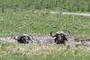 Pair of Cape buffalo sleeping in a wallow, Arusha NP, Tanzania