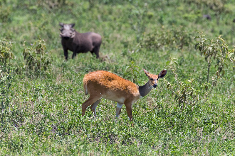 Bushbuck with one ear for the wart hog and one for the road, Arusha NP, Tanzania