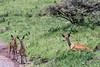Bushbucks near the road, Arusha NP, Tanzania