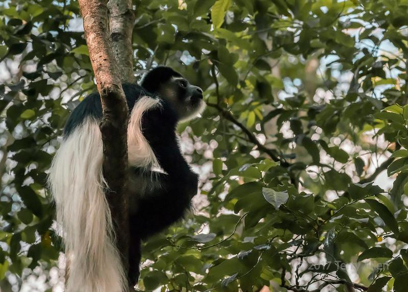 Colobus monky (Colobus guereza) in a tree 4, Arusha National Park, Tanzania