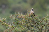 Speckled mousebird (Colius striatus) in an acacia tree, Arusha National Park, Tanzania