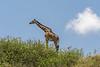 Giraffe against a blue sky
