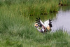 Grey crowned crane (Balearica regulorum) hunting in the reeds 4, Momelo Lakes, Arusha National Park, Tanzania