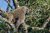 Male baboon in tree, Arusha National Park, Tanzania