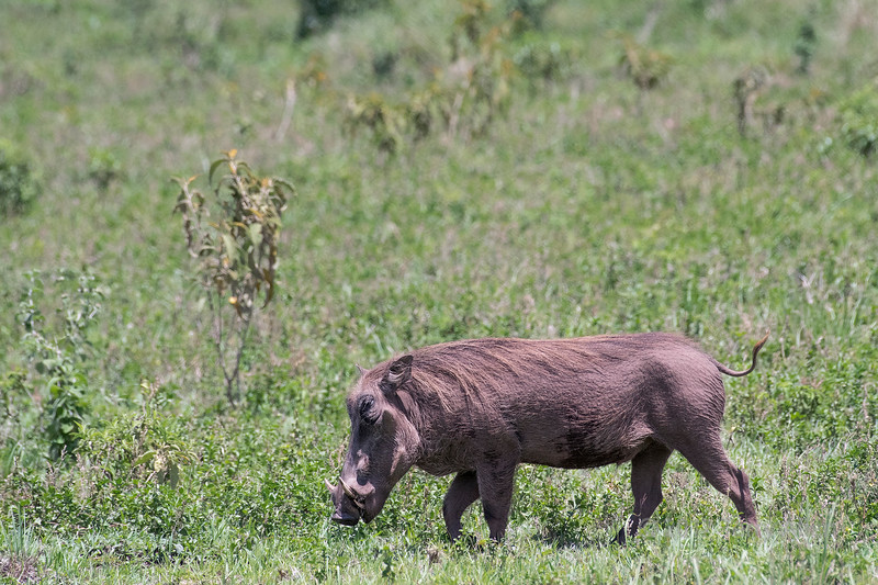 Wart hog (Phacochoerus africanus) walking through the bush 1, Arusha NP, Tanzania