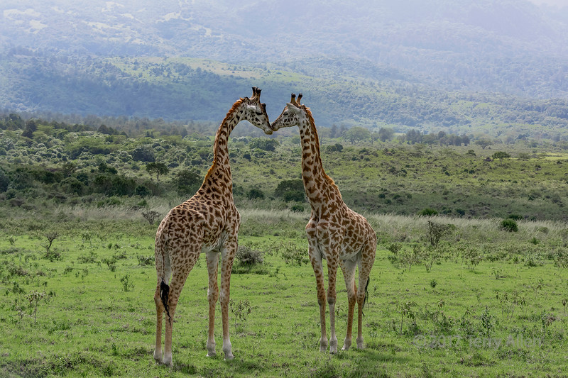 Two young Masai giraffes interacting together 1, near Mount Meru, Arusha NP, Tanzania