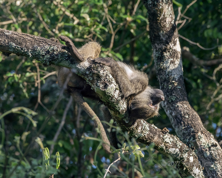 Baby baboon playing in a tree 6, Arusha NP, Tanzania