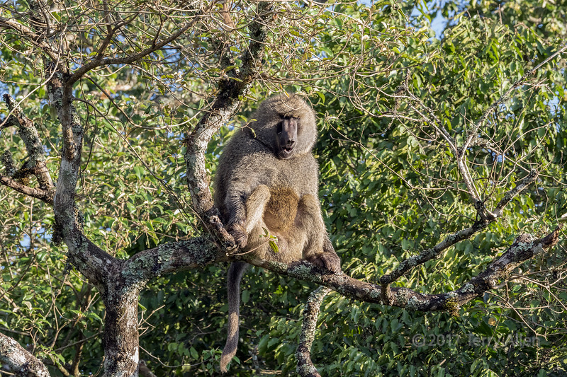 Male baboon sitting in a tree, Arusha National Park, Tanzania