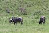 Muddy male Cape buffalo (Synerus caffer) eating grasses 2, Aursha NP, Tanzania