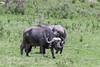 Muddy male Cape buffalo (Synerus caffer) grazing, Aursha NP, Tanzania