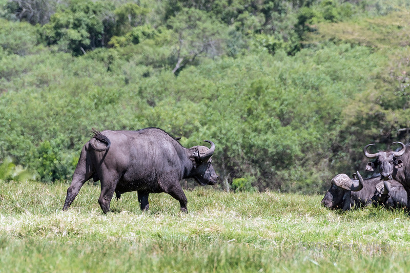 Large male Cape buffalo (Syncerus caffer), with lower half covered in mud and flies, walks over to join the herd, Arusha NP, Tanzania