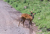 Pair of young female bushbucks (Tragelaphus scriptus) by the road, Arusha NP, Tanzania