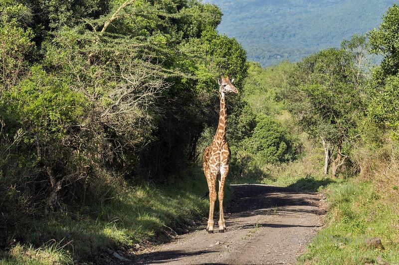 Giraffe on the road 1, Arusha NP, Tanzania