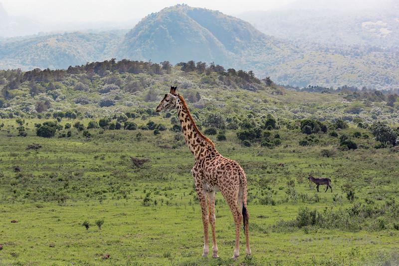Masai giraffe and waterbuck near Mount Meru, Arush National Park, Tanzania