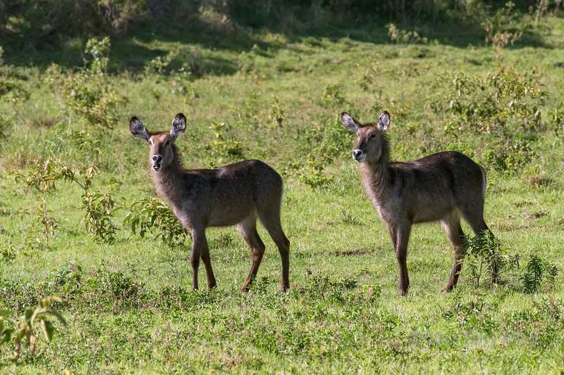 Two female waterbuck (Kobus ellipsipymnus) 2, Arusha National Park, Tanzania