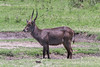 Male waterbuck standing in muddy hollow, Arusha NP, Tanzania