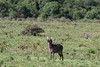 Female waterbuck (Kobus ellipsipymnus) 6, Arusha National Park, Tanzania