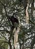 Colobus monkey (Colobus guereza) in tree, Arusha National Park, Tanzania
