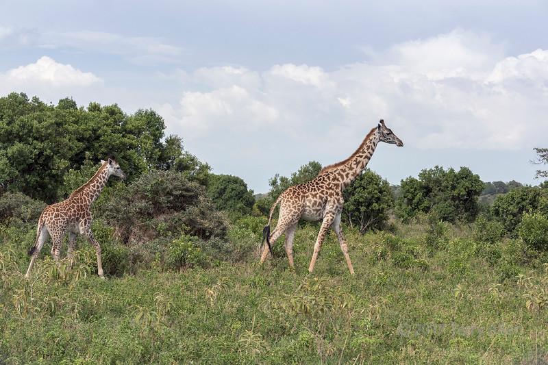 Mother and baby Masai giraffe, Arusha National Park, Tanzania