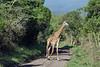 Giraffe on the road 3, Arusha NP, Tanzania