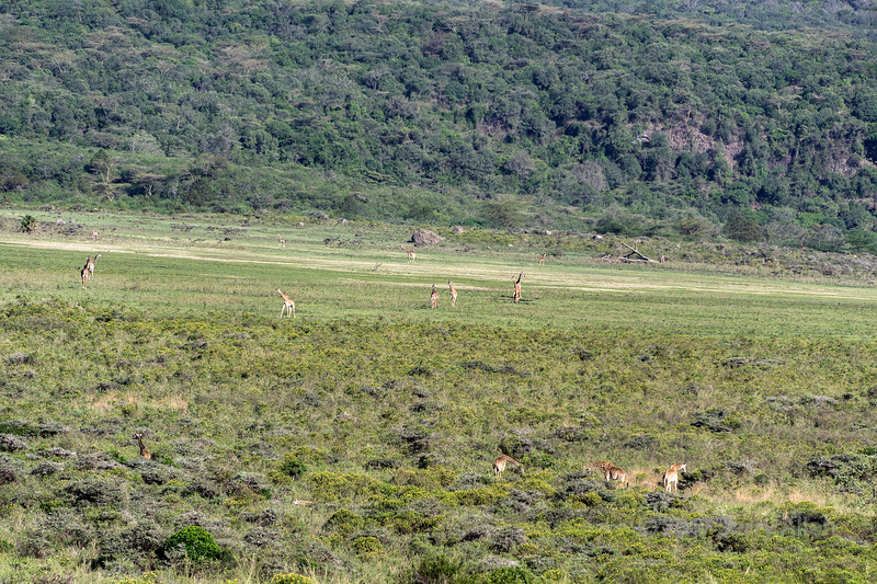 Herd of giraffe (Masai giraffe, Giraffa tippelskirch) grazing on the lower slopes of Mount Meru, Arusha NP, Tanzania