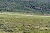 Herd of giraffe (Masai giraffe, Giraffa tippelskirch) grazing on the lower slopes of Mount Meru, Arusha NP, Tanzania