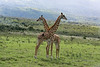 Two young Masai giraffes interacting together 3, near Mount Meru, Arusha NP, Tanzania