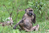 Young baboon ((Papio anubis) eating a leaf, Arusah NP, Tanzania