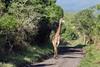 Giraffe on the road 2, Arusha NP, Tanzania