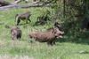 Family of wart hogs (Phacochoerus africanus), Arusha NP, Tanzania
