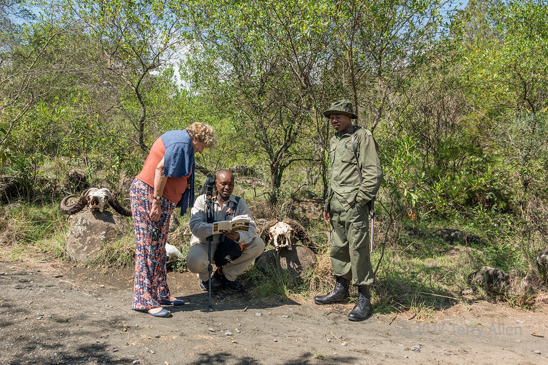Guide and tourist examiningbuffalo skulls with a ranger 1, Arusha NP, Tanzania